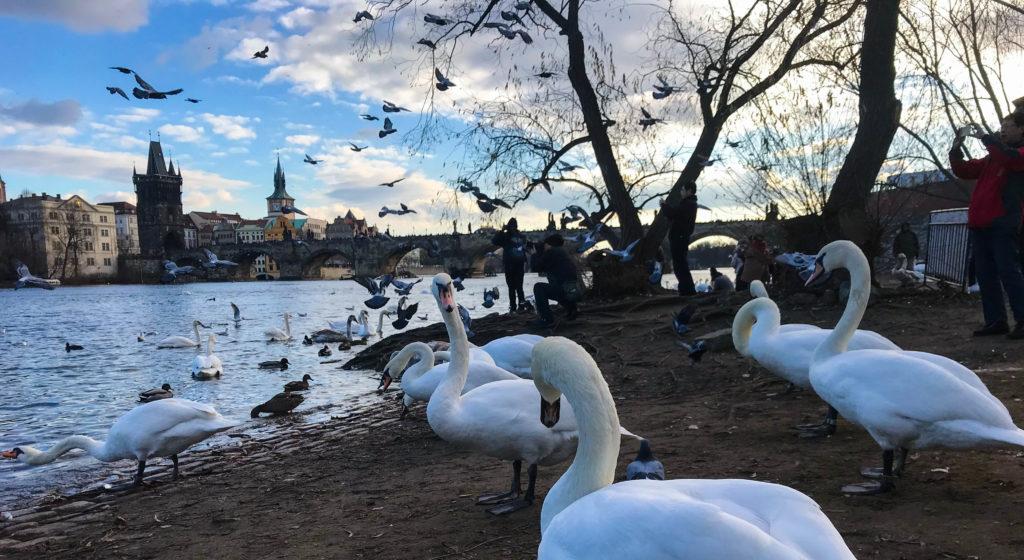 Praga cisnes vao bora viajar